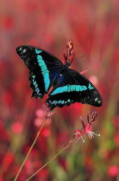 Green banded swallowtail by George Veltchev