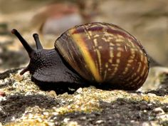 Podróż ślimaka zaroślowego