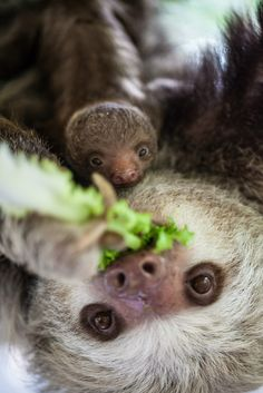 Lincoln Park Zoo, in Chicago, Illinois, has announced a new arrival. A Hoffmann's Two-Toed Sloth was born on July 25. Check out ZooBorns to learn more and see more! http://www.zooborns.com/zooborns/2015/08/lincoln-park-zoo-says-they-are-hooked-on-new-sloth.html