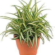 100 seeds of spider plant Chlorophytum comosum Bernards lily ivy ribbon airplane Cool Plants, Green Plants, Indoor Garden, Indoor Plants, Lucky Bamboo Plants, Cat Safe Plants, Chlorophytum, Zz Plant, Decoration Plante