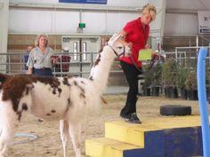 Melanie showing Princess at the Antelope Valley Fair Llama Show, 2009