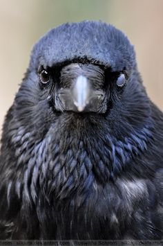 Crow by *Sikaris on deviantART Quoth The Raven, Raven Bird, Animals And Pets, Cute Animals, Crow Painting, Dark Wings, Crow Art, Jackdaw, Crows Ravens