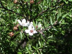 This plant (Leptospermum scoparium var. scoparium) is the source of the famous and very valuable Manuka Oil and Manuka Honey. Manuka Essential Oil, Manuka Oil, Manuka Honey, Blister In Mouth, Manuka Tree, Plants That Repel Bugs, Tea Tree Oil Uses, Fly Repellant, Medicinal Plants