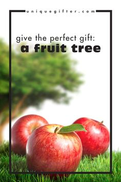 A fruit tree makes a perfect gift because it keeps on giving. It grows, it yields, it teaches lessons and it's a living, breathing gift. I love this idea! It would be a perfect anniversary gift, or a birthday gift for my daughter. It's a green gift, it's eco-friendly (of course!), it's natural and it could even be organic. Perfect!