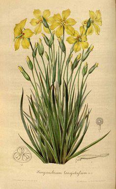 51475 Solenomelus pedunculatus (Gillies ex Hook.) Hochr. [as Sisyrinchium longistylum Lemaire] / Houtte, L. van, Flore des serres et des jardin de l'Europe, vol. 3: fasicle 8, p. 255, t. 3 (1847) [L. Stroobant]
