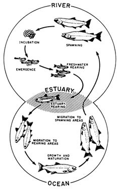 Diagram courtesy of the US Forest Service Science Lessons, Teaching Science, Science Education, Life Science, Summer Science, Science For Kids, Fish Life Cycle, Glad Strategies, Ocean Activities