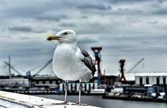 Möwe, Vogel, Natur, Hafen, Ostsee