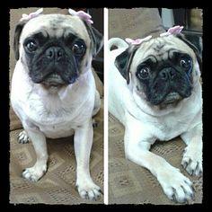 Minha Pug Becki