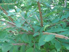 Всё о бегониях и не только...: Бересклет священный - Euonymus sacrosancta (фото)