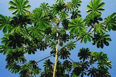 Cercopia Tree (Cecropia glaziovii) 8-18 m Loved by sloths