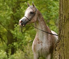 """Aneksja (Balon x Antwerpia by Eternit) is a lovely Polish Arabian mare with an unbelievable amount of flecking in her fleabitten grey coat, and perhaps even a """"bloody shoulder"""" mark on her chest."""