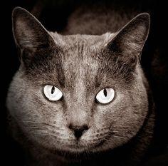 chartreux photograph by didier masse Nikon D200, Photography Tutorials, Panther, Digital, Artist, Nature, Artwork, Animals, Gatos