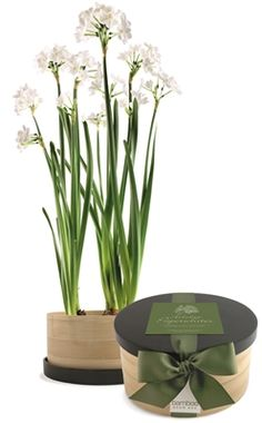 Fast and easy to grow, these delicate, pure white #flowers fill a room with #fragrance and graceful #beauty. Absolutely foolproof; the plants flower in 4 to 6 weeks. Includes 5 paper white bulbs, #bamboo pot, growing medium, and directions.  #MenusAndMusic  https://www.menusandmusic.com/paper_whites_p/16h-0908.htm