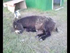cabra sube a burro
