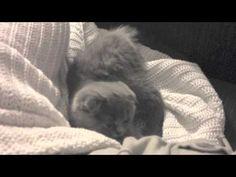 Frida, all'età di 3 mesi, inizia a giocare e divertirsi. Che cucciolo!  Frida: the scottish fold kitten