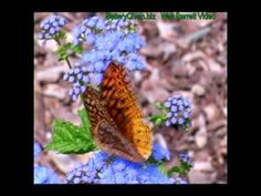 Beautiful Butterfly Garden in Connecticut. Video Advertising, Beautiful Butterflies, Connecticut, Relax, Butterfly, Garden, Plants, Garten, Lawn And Garden