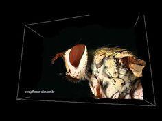 Fly (mosca) - Fotos SonhosBR