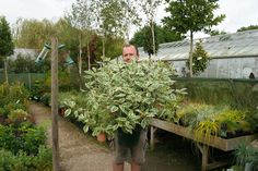 Cornus alba 'Halo' has gorgeous red stems and is an excellent choice for the winter garden, available from Big Plant Nursery. Big Plants, Plant Nursery, Garden Soil, Florists, Winter Garden, Stems, Green Leaves, Dark Red, Shrubs