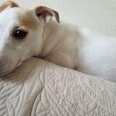 good morning🌞🌝 朝は騒がしいはなこさん。 ダッシュしながらクロックス振り回す毎日の日課😤😤 . #今大人しいけど #物音したらすごい #猛ダッシュ #往復 #はぁちゃん💝 #hana#はな #jackrusselllove #jackrussellterriersofinstagram #dog#🐶#🇯🇵#pet#Japan #dogstagram  #kyoto#jack #jrt#ジャックラッセル #京都#ジャックラッセルテリア #愛犬