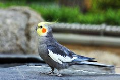 Recipes for Nutritious Foods and Tasty Treats that you can cook for your Birds from Cockatiel Cottage.~ They have a lot of Good Recipes that are very Easy to Make and Birds Really do Love Home cooked food. All the Recipes I have try so far have been a Big Hit with My Birdies.