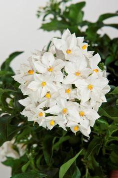 Solanum jasminoides - Viridea