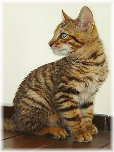 Toyger Kitten - from Xquizit Toygers Australia