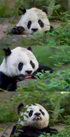 Goo goo for Gao Gao by Mollie Rivera | We love the San Diego Zoo's geriatric male panda