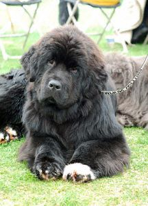 I think this is called a newfoundland. I think he would make a great friend :)
