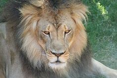 Leijona, Harja, Kissa, Iso Kissa