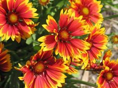 21 Plants That Bloom All Summer Long Here is a wide selection of beautiful summer plants which bloom Perrenial Flowers, Flowers Perennials, Planting Flowers, Flowers Garden, Hardy Perennials, Growing Flowers, Sun Perrenials, Gazania Flowers, Lantana Plant