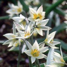 Tulip botanical 'Turkestanica'