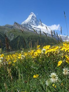 View of the Matterhorn through a field of wildflowers.