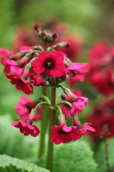 Primula japonica 'Miller's Crimson' - Attractive tiers of deep reddish-purple flowers appear on stout, upright stems in late spring and early summer. We think this striking candelabra primula is one of the best forms currently available. It will thrive in the dappled shade of a woodland garden where there is reliable moisture and for maximum impact, should be planted in generous drifts.