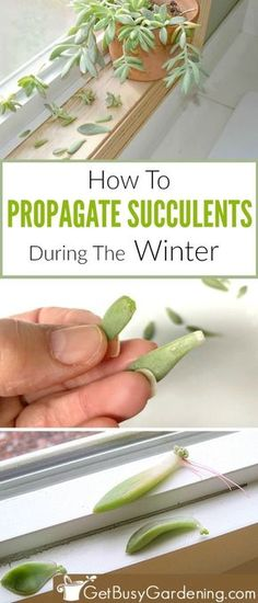 If you think summer is the only time you can propagate succulent cuttings I have great news for you I found an easy trick that makes propagating succulents in the winter. Transplant Succulents, Replanting Succulents, Succulent Cuttings, Growing Succulents, Succulent Gardening, Succulent Care, Cacti And Succulents, Plant Propagation, Succulent Containers
