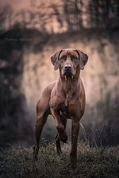 #Rhodesian #Ridgeback - click on the photo to learn more about this dog