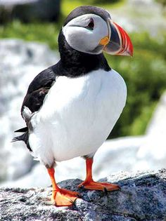 Cape Breton Puffin oh emm gee, love these guys ♥ Icelandic Cuisine, Alaska, Puffins Bird, Atlantic Canada, Cape Breton, Newfoundland And Labrador, Tier Fotos, Sea Birds, Nova Scotia
