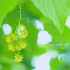 #イイギリ#Iigiritree#flower#tree