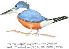 Kenn Kaufman's Notebook: The Ringed Kingfisher Has Invaded Texas | Audubon