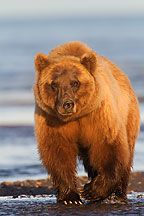 Alaska Grizzly Bear Pictures