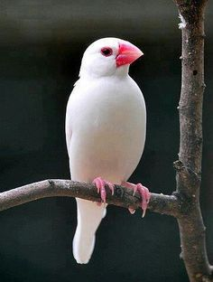 White Java Sparrow also known as Java Finch, Java Rice Sparrow or Java Rice Bird is a small passerine bird. This estrildid finch is a resident breeding bird in Java, Bali and Bawean in Indonesia, another island Pretty Birds, Beautiful Birds, Animals Beautiful, Cute Animals, Animals Amazing, Pretty Animals, Baby Animals, Kinds Of Birds, All Birds