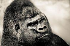 Gorilla b by pattoise, via Flickr