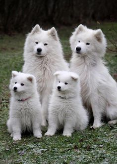 Samoyed family