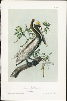 Audubon Birds America Brown Pelican Pl 423 from Best 50 prints from Audubon Birds of America