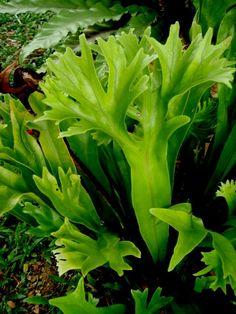 Fishtail Fern - Microsorum Punctatum Grandiceps