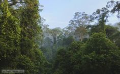 Rainforests are the world's powerhouses, the most vital habitats on the planet. Characterised by high rainfall, they only cover 6% of the Earth across the tropical regions, but they contain more than half of its plant and animal species. Fast-growing trees form a dense canopy that prevents much sunlight reaching the forest floor and discourages undergrowth. The canopy is where it's at, and it hums with an incredible diversity of life (BBC, 2013)