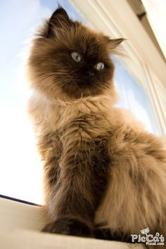 sitting himalayan cat jolie the himalayan cat by petar #cutecat - About cat at Catsincare.com!