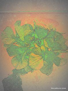 Dried hydrangea  7/22/14  Marcia Mouron