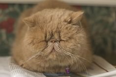flat faced cat breed - Google Search