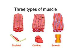 3 types of muscle | cc cycle 3 | pinterest | skeletal muscle, Muscles