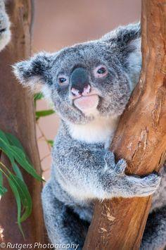 Koala Bear | I want one! | By: Otima | Flickr - Photo Sharing!
